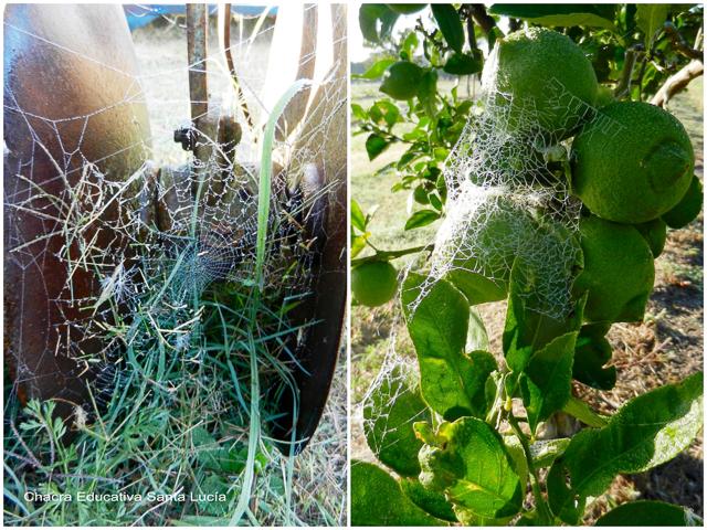 Telas de araña en el viejo arado y en el limonero - Chacra Educativa Santa Lucía