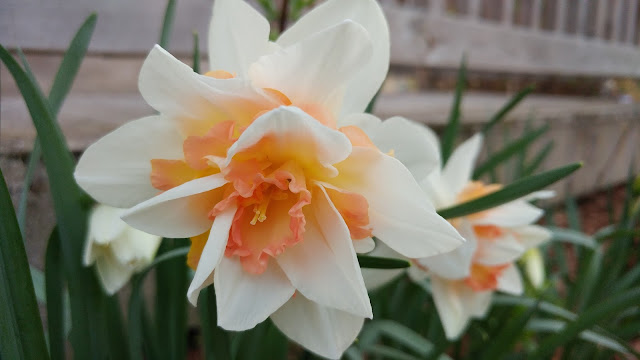 Close-up of daffodils