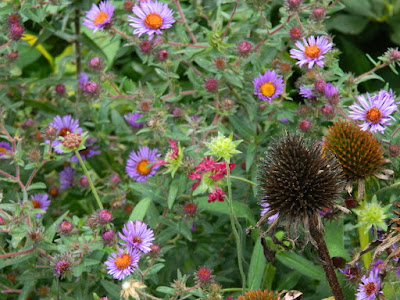 Autumn Purple Coneflowers and New England Asters at the Toronto Botanical Garden's Perennial Borders by garden muses--not another Toronto gardening blog