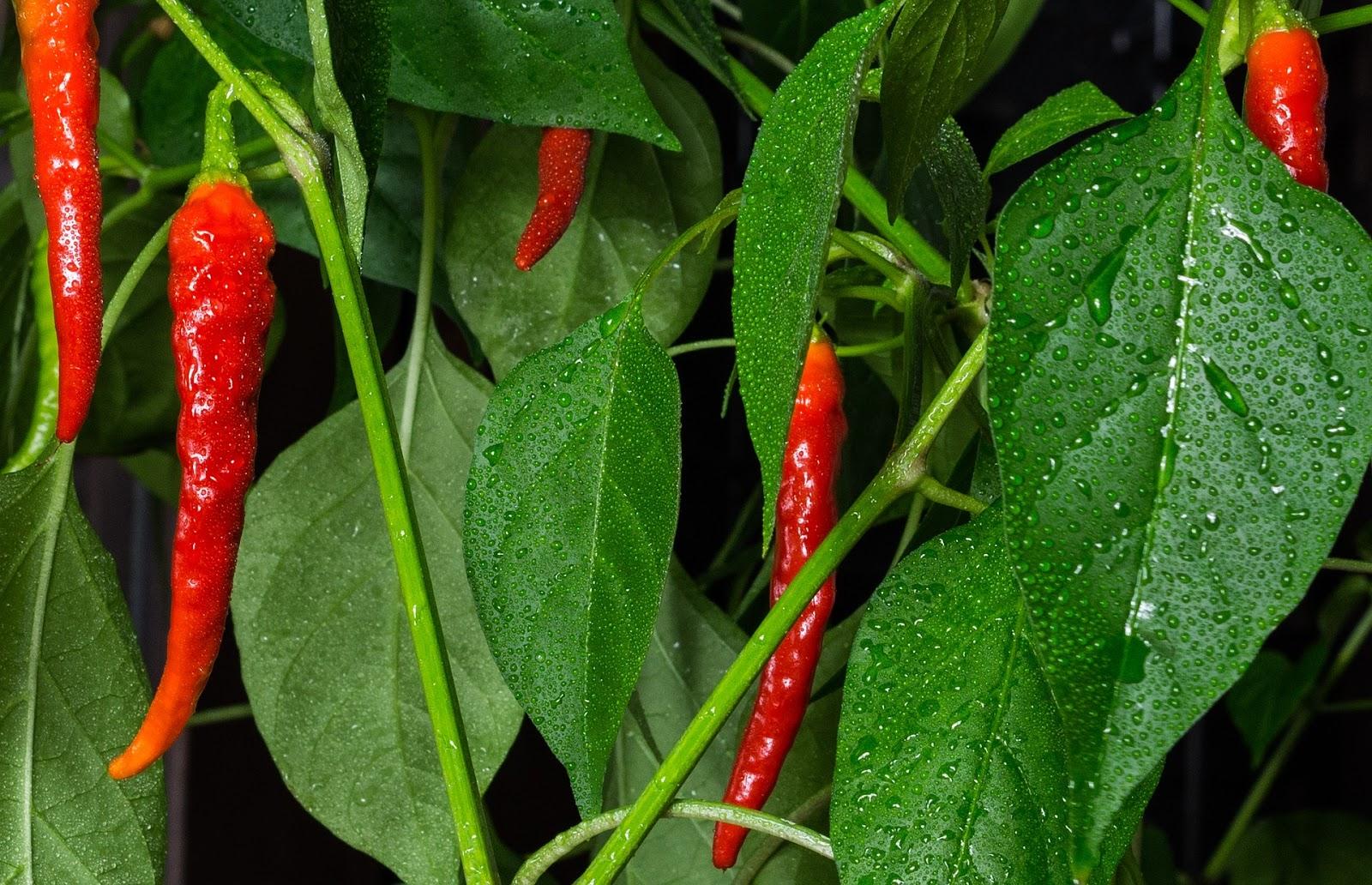 Belajar cara menanam dan merawat tanaman cabe keriting yang baik dan benar