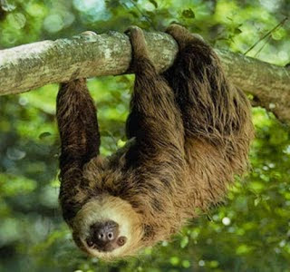 Southern two toed Sloth