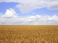 Büyük bir buğday tarlası