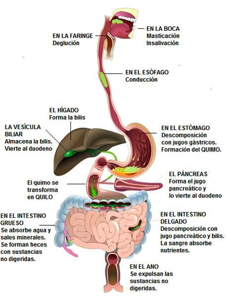 Proceso digestivo: ingestión, digestión y egestión (excreción)