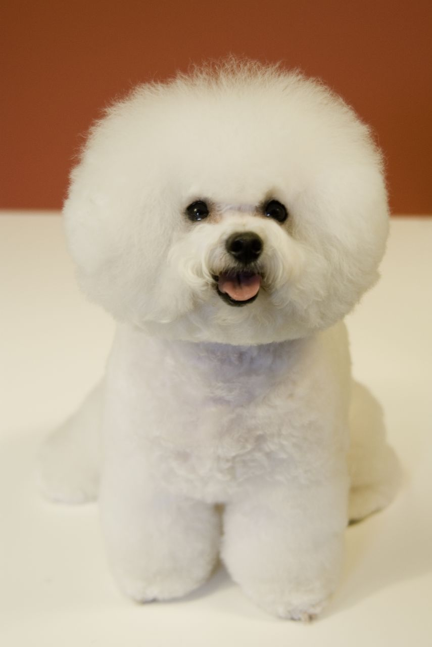 Cute Puppy Dogs Cute Bichon Frise Puppies