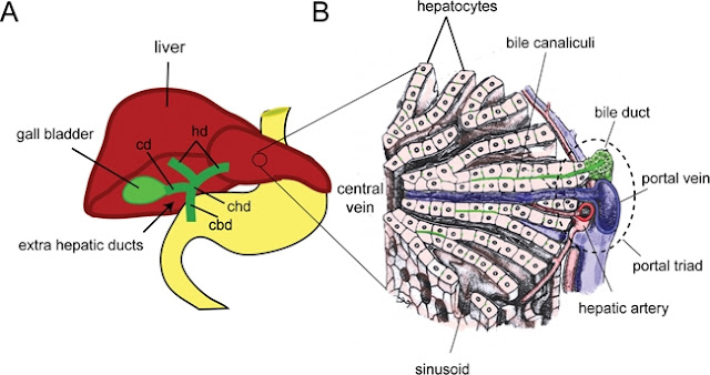 Cellular Architecture of the Liver