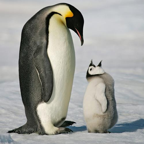 The Emperor Penguin | Animals Lover