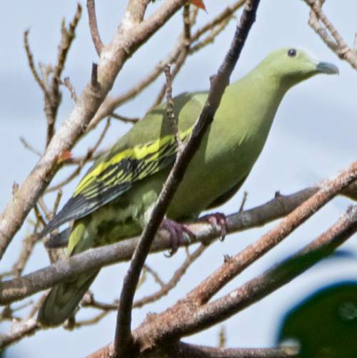 Birds of India - Photo of Andaman green pigeon - Treron chloropterus