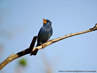 campainha-azul, aves do brasil, birdwatching, Porphyrospiza caerulescens, aves do cerrado, birding, birds of the savanna, ornitologia, birds, pássaros, aves, observação de aves.