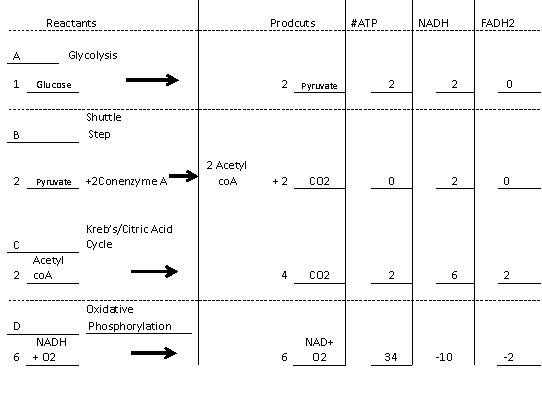 cycle citric acid krebs biology cell bio mob mike university