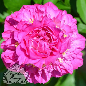 Peony 'Feather Top'