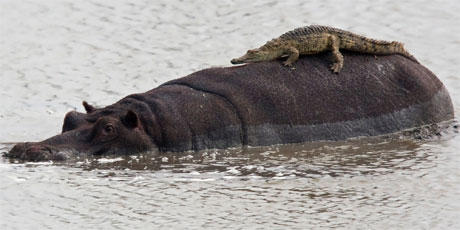 crocodile on hippopotamus back kruger national park