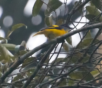 Grey-chinned Minivet (Pericrocotus solaris)