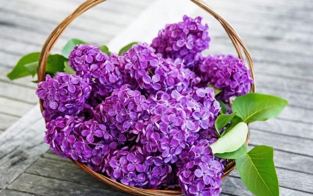 hoa màu tím tử đinh hương