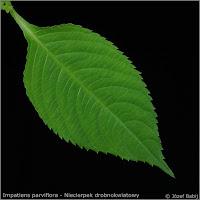 Impatiens parviflora leaf - Niecierpek drobnokwiatowy liść