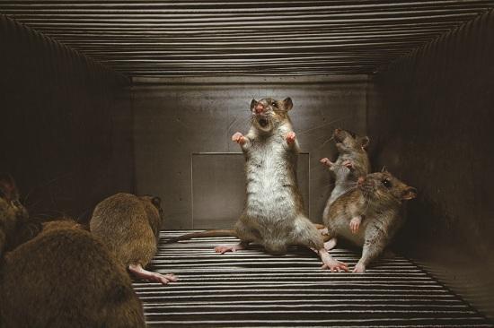 Rats Aggression