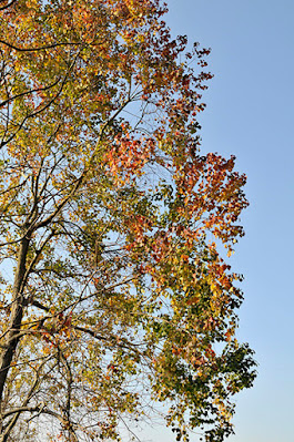 colorful tree leaves below sunny blue sky
