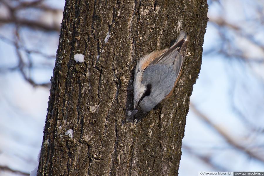 Поползень на коре дерева
