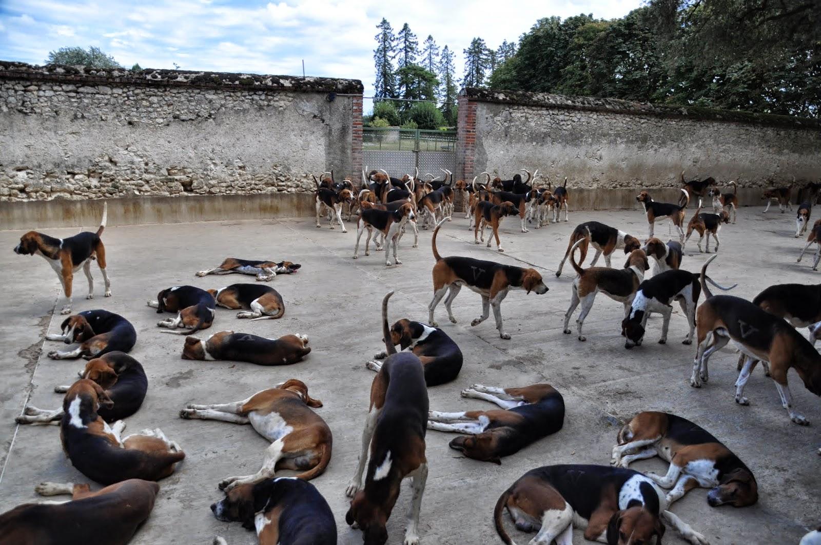 I cani di Cheverny