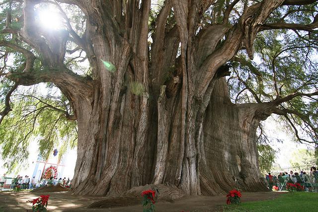 10 Διάσημα και Μοναδικά Δέντρα του κόσμου!
