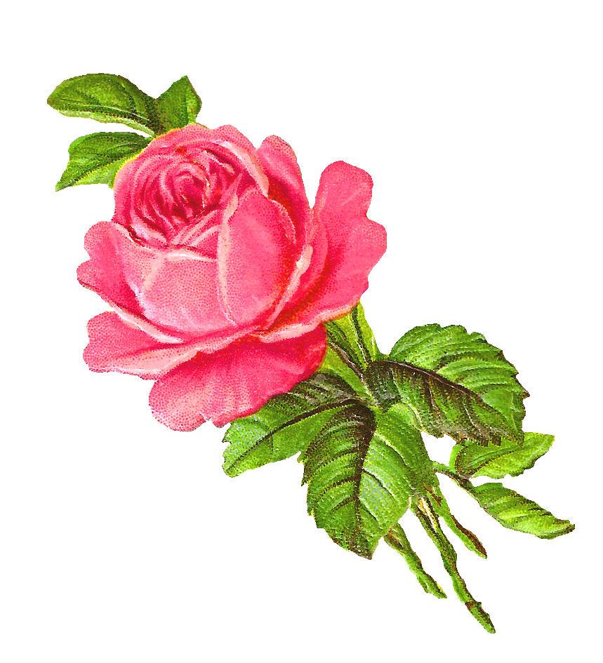 Antique images free pink rose digital download flower image clip art rose flower image botanical art printable voltagebd Choice Image
