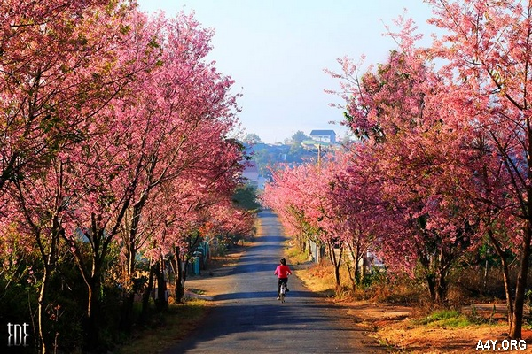 con đường thật đẹp ở Đà Lạt