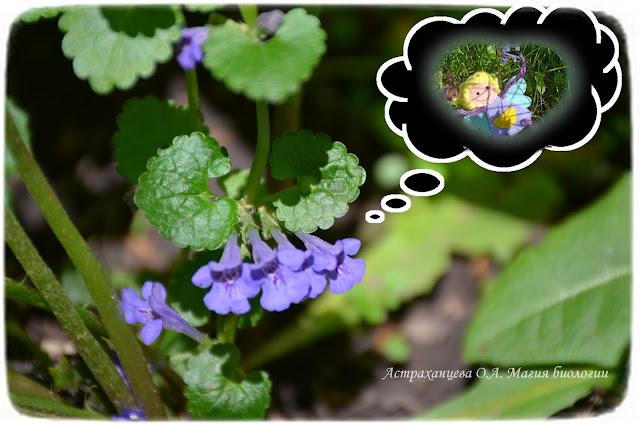 zagadki-pro-vesennie-cvety-dlya-detej-i-vzroslyh-magiya-biologii-будра-плющевидная