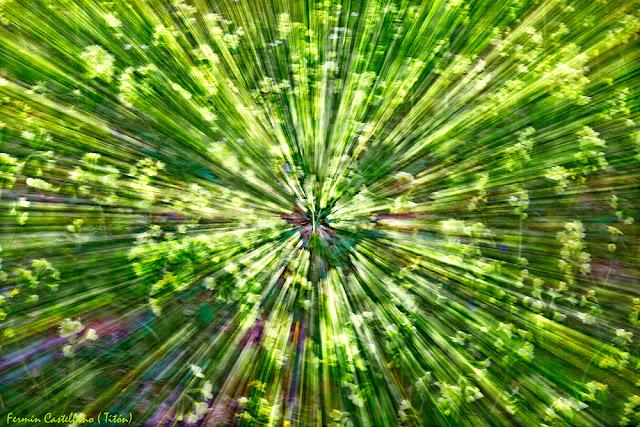 Zooming sobre floración de prímulas