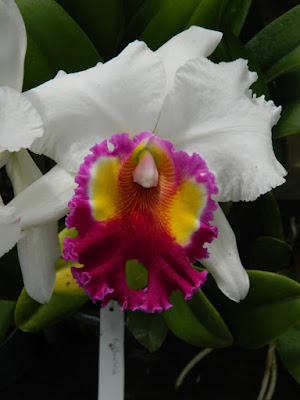 Cattleya labiata var. semi-alba at Orchid World Barbados by garden muses-not another Toronto gardening blog