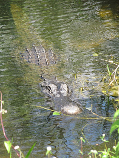 Alligator at Shark Valley in the Everglades National Park
