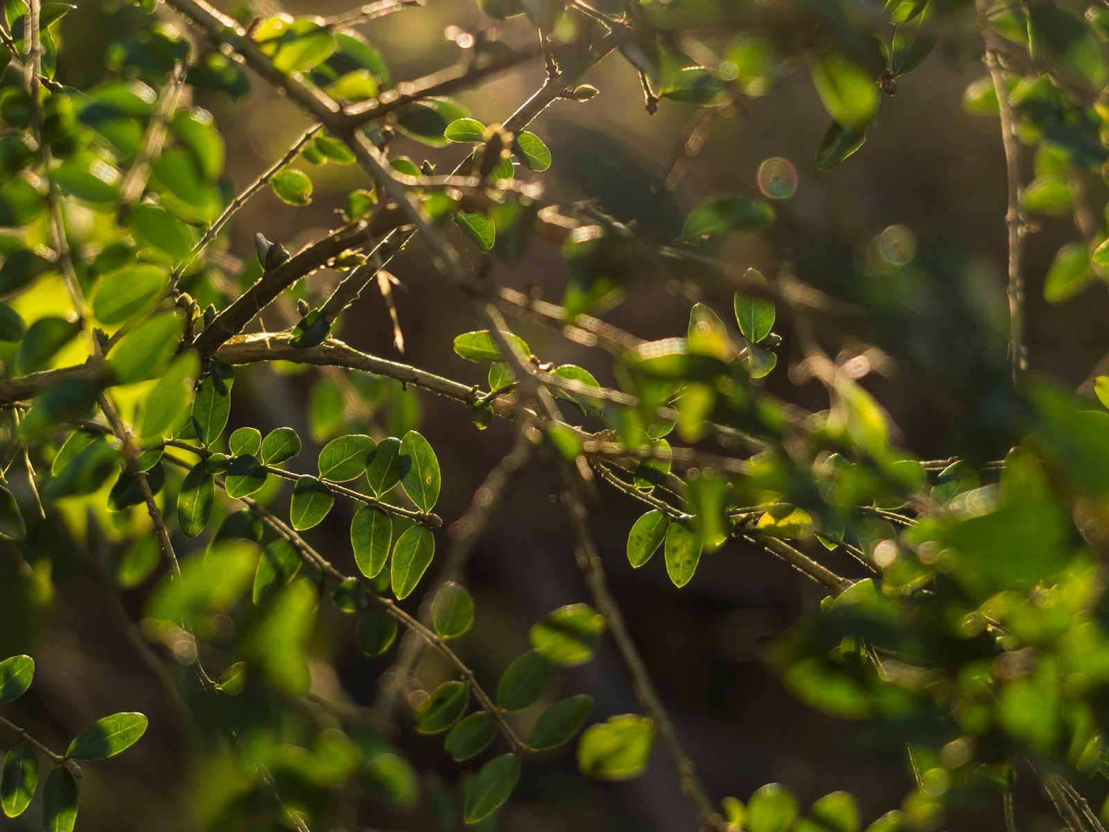 Sunset light shining though tiny evergreen leaves.