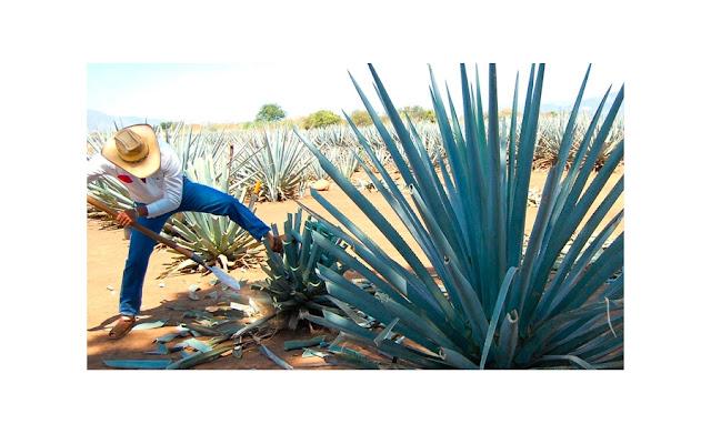tequila,bebida,famosa,bebida famosa,méxico,bebida mexicana