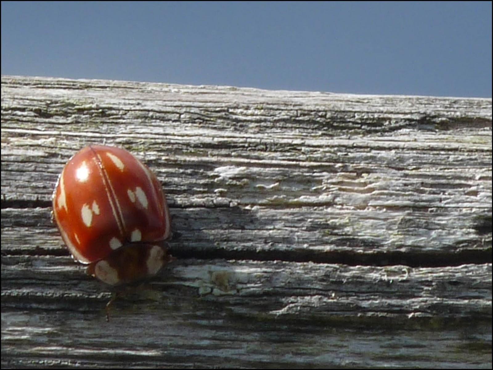 Ladybird Ladybird Go Away Home Crossword Clue