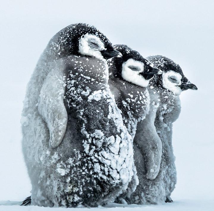 コウテイペンギン赤ちゃん(南極)