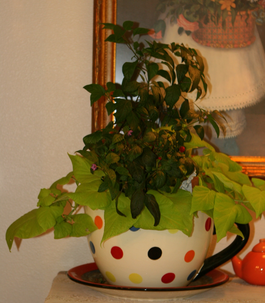 Large Tea Cup Planter Gracious Hospitality Sweet Sweet Potato Vines