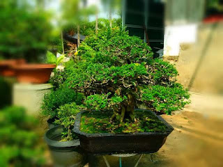 agar-bonsai-tumbuh-subur.jpg