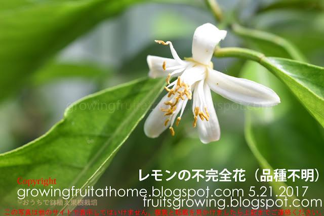 レモンの不完全花