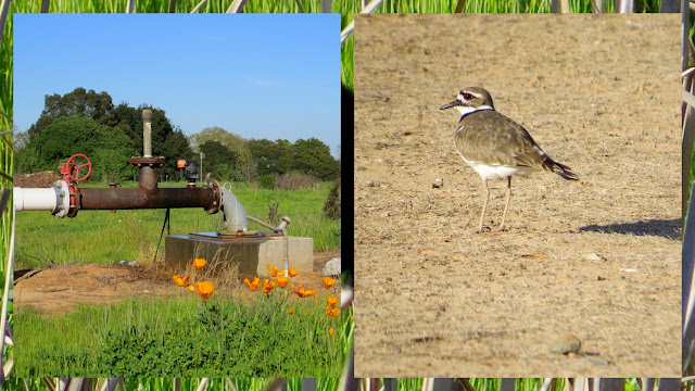 Wildfowers and kildeer bird at Langetwins Winery in Lodi
