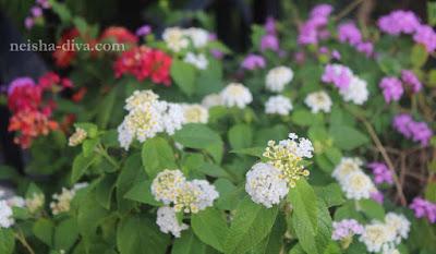 Lantana Rumah Bunga Neisha