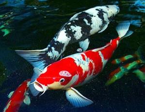 cara budidaya ikan koi di kolam terpal,ikan koi di akuarium,ikan koi di aquarium,ikan koki,ikan cupang,ikan mujair,ikan lele,ikan arwana,
