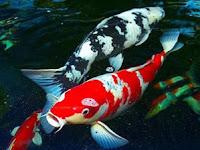 Mengenal Tahapan Cara Budidaya Ikan Koi Blitar
