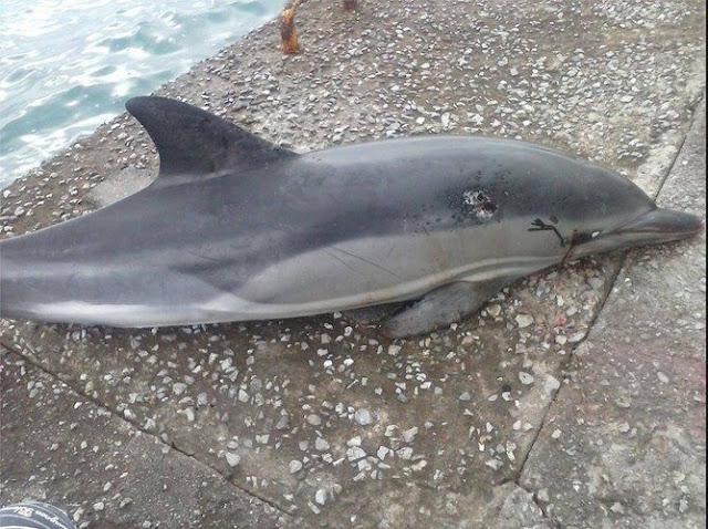Δελφίνι εντοπίστηκε νεκρό στις Σπέτσες