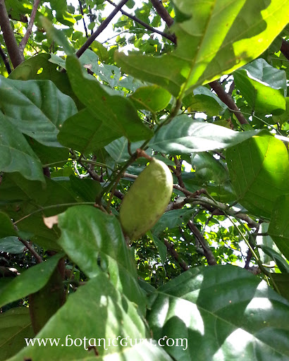 Pongamia pinnata, Indian Beech Tree