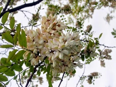 Acacia (Robinia pseudoacacia) silvestre blanca