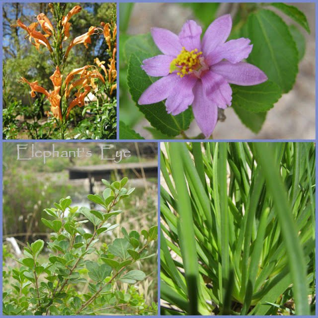 Dozen for Diana, 4 for False Bay Tecoma capensis flowering shrub, Grewia occidentalis flowering tree Searsia crenata tree, Bulbine frutescens flowering succulent groundcover