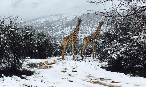 Güney Afirka'da Kar Yağdı - Zürafalar, Filler ve Geyikler şaşkın.