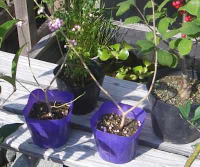 紫式部 苗木