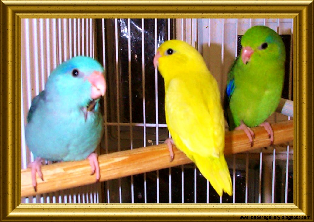 Types Of Pet Birds List | Wallpapers Gallery
