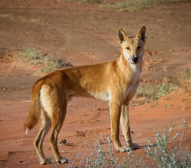 Dingoes should remain a distinct species in Australia
