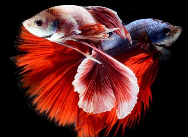 40 Jenis Ikan Hias Aquarium Air Tawar  yang Mudah Dipelihara