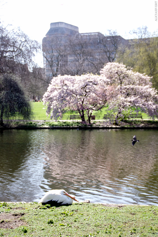aliciasivert, alicia sivertsson, london, england, St. james's park, angry cinnamon bun, pelican, pelikan